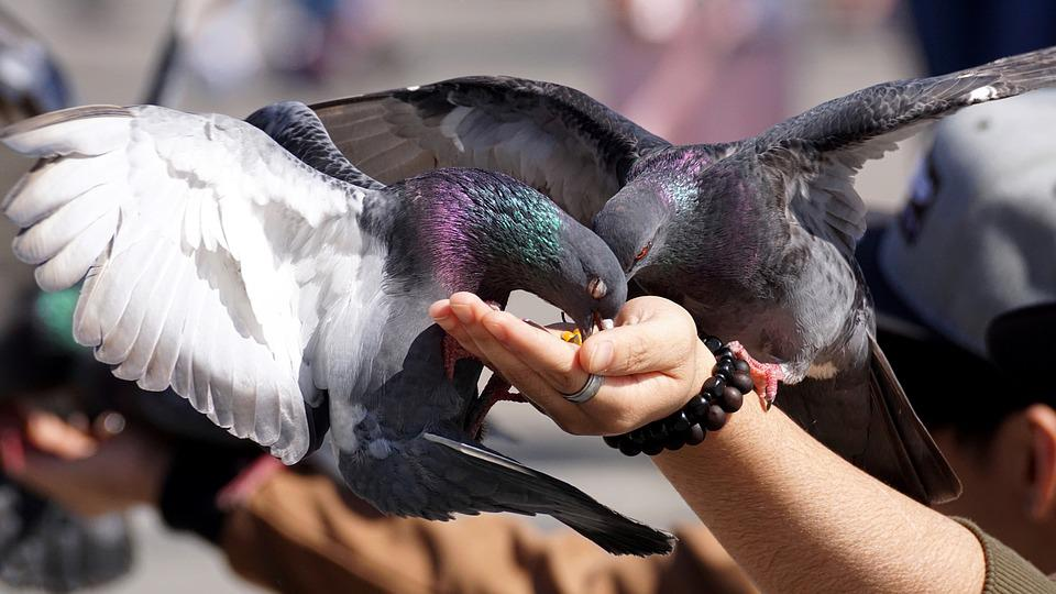 Pigeons, Feed, Hand, Fly, Space, Wing, Dove, City