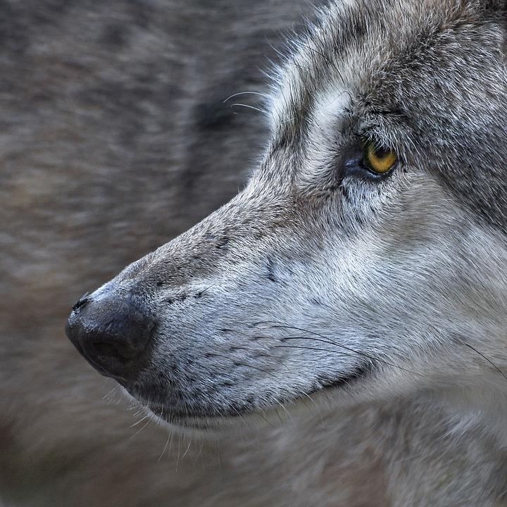 Wolf, Close Up, Fly, Predator, Animal, Wild
