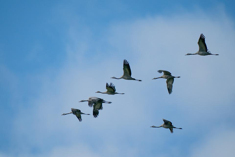 Cranes, Birds, Animal, Sky, Nature, Wildlife, Fly