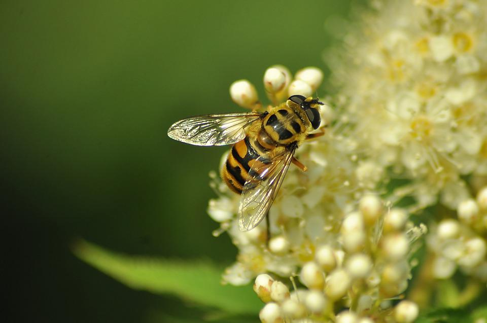 Bee, Fly, Nectar, Insect, Pollen, Bloom, Flower