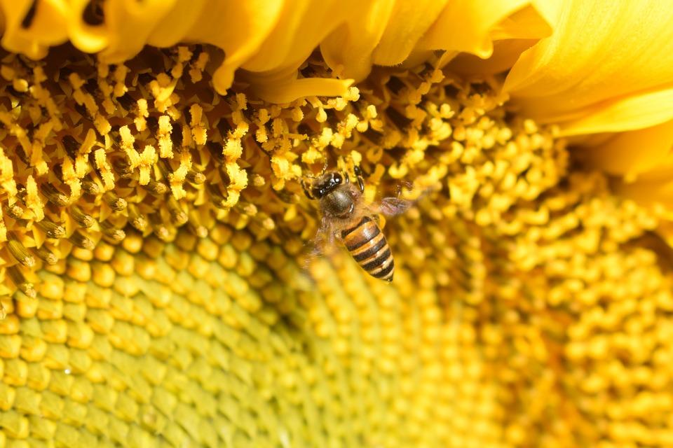 Fly, Bee, Sunflower, Flowers