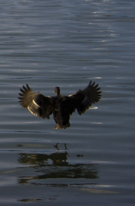 Duck, Bird, Fly, Flying, Wings, Sea, Lake, Animal