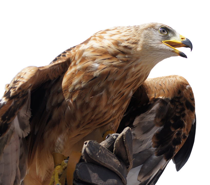 Golden Eagle, Animal, Bird, Bird Of Prey, Bill, Fly