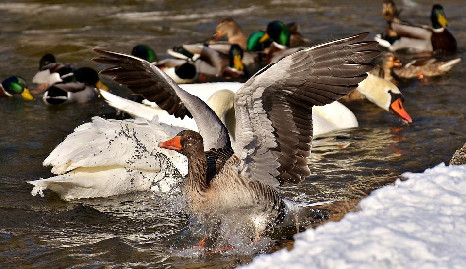 Goose, Fly, Flight, Landing, Water Bird