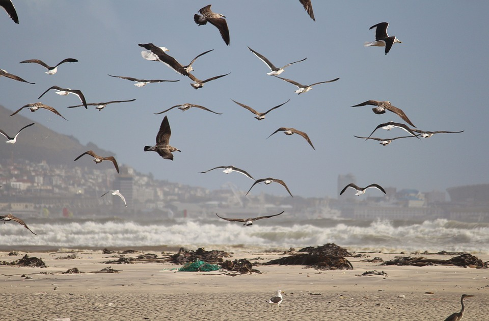 Gulls, Birds, Fly, Foraging, Flock Of Birds, Swarm