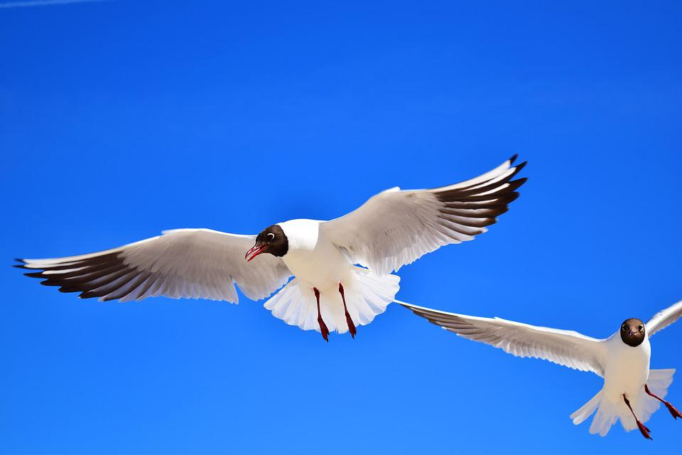 Gulls, Birds, Fly, Freedom, Sky, Lake, Feather, Wing