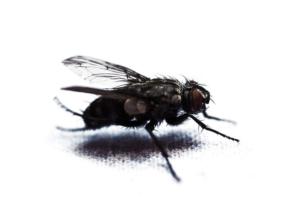Fly, Housefly, Macro, Close, Insect, Compound Eyes