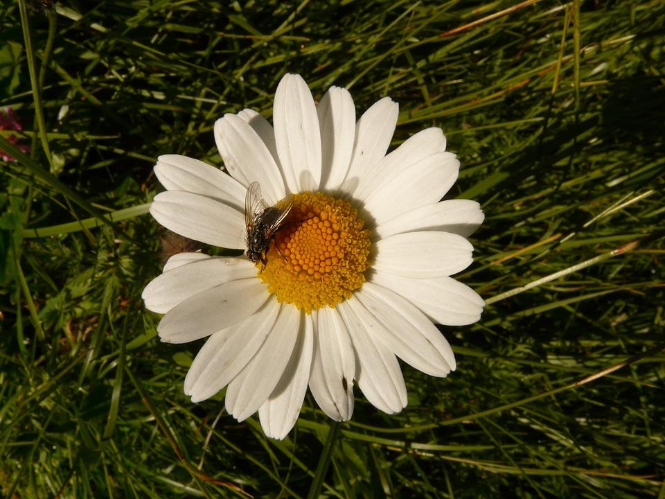 Margarithe, Flower, White, Plant, Fly, Summer