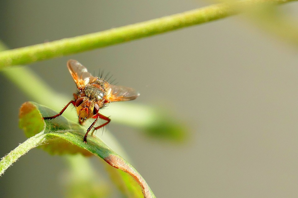 Fly, Mosquito, Nature, Insect, Animal, Macro, Close