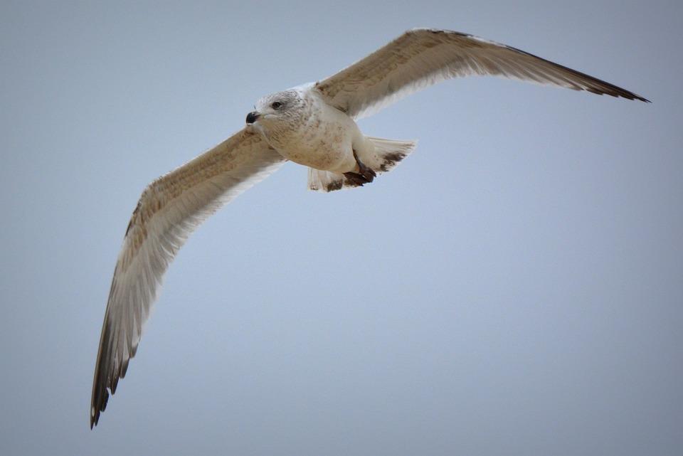 Seagull, Bird, Fly, Wings, Animal