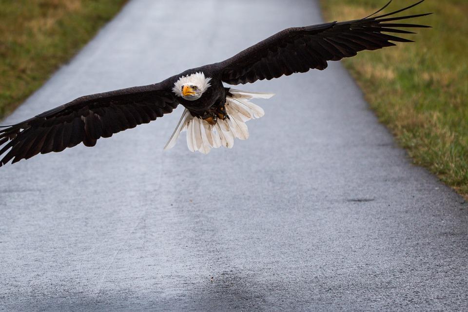 Bald Eagle, Flying, In Flight, Approach