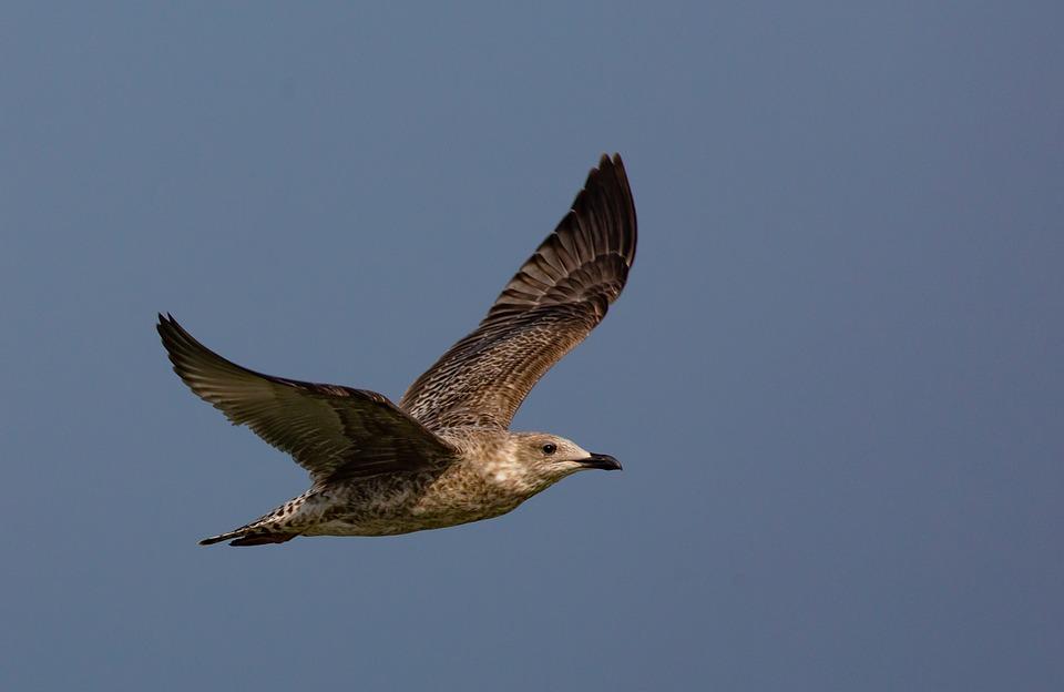 Herring Gull, Gull, Flight, Flying, Bird, Seabird