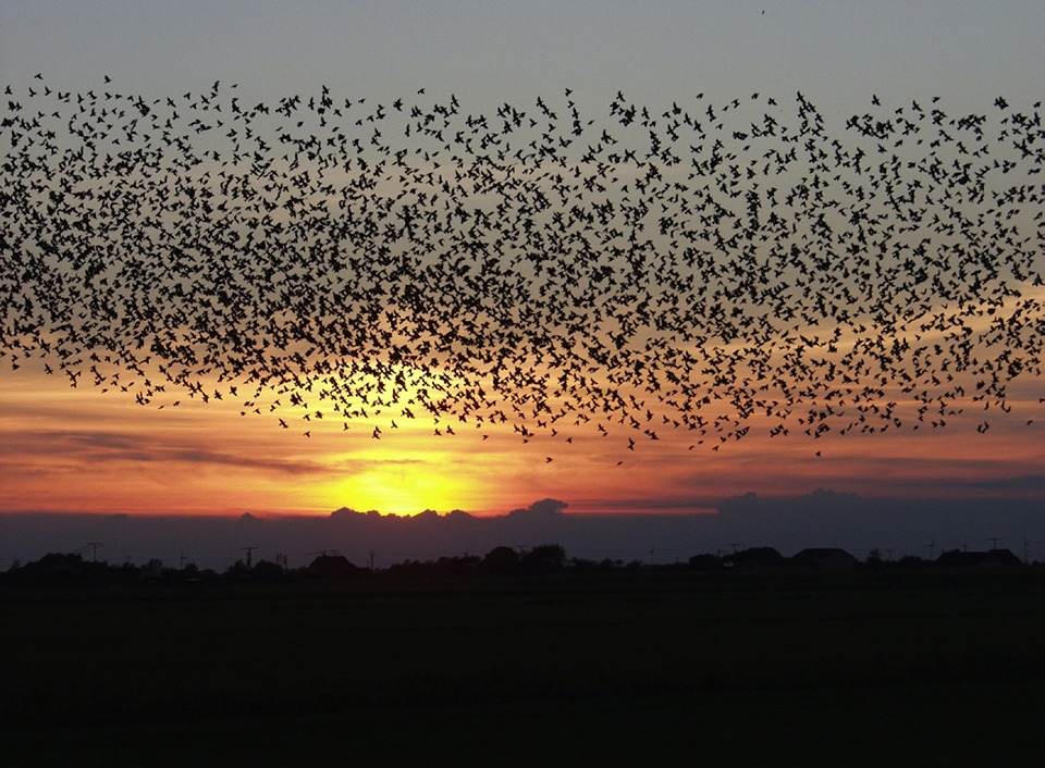 Sunset, Birds, Blackbirds, Sky, Clouds, Flying, Flight