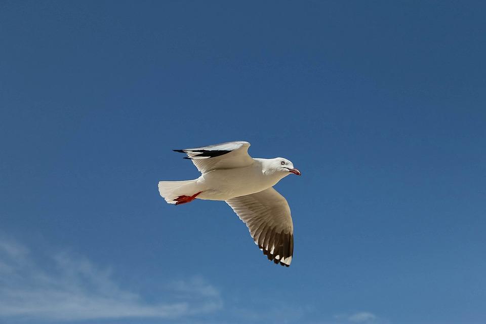 Seagull, Flying Birds, Sky