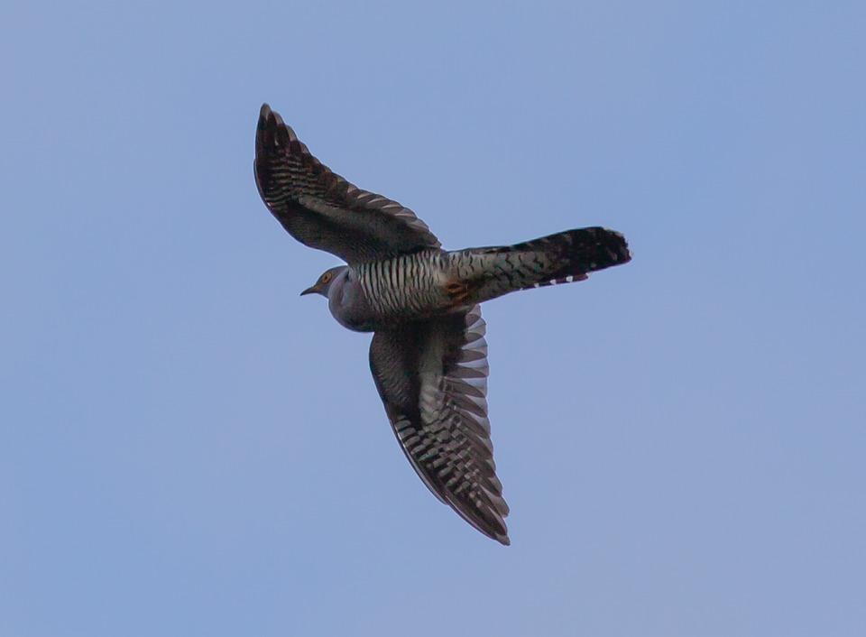 Cuckoo, Eurasian Cuckoo, Flying Cuckoo, English Cuckoo