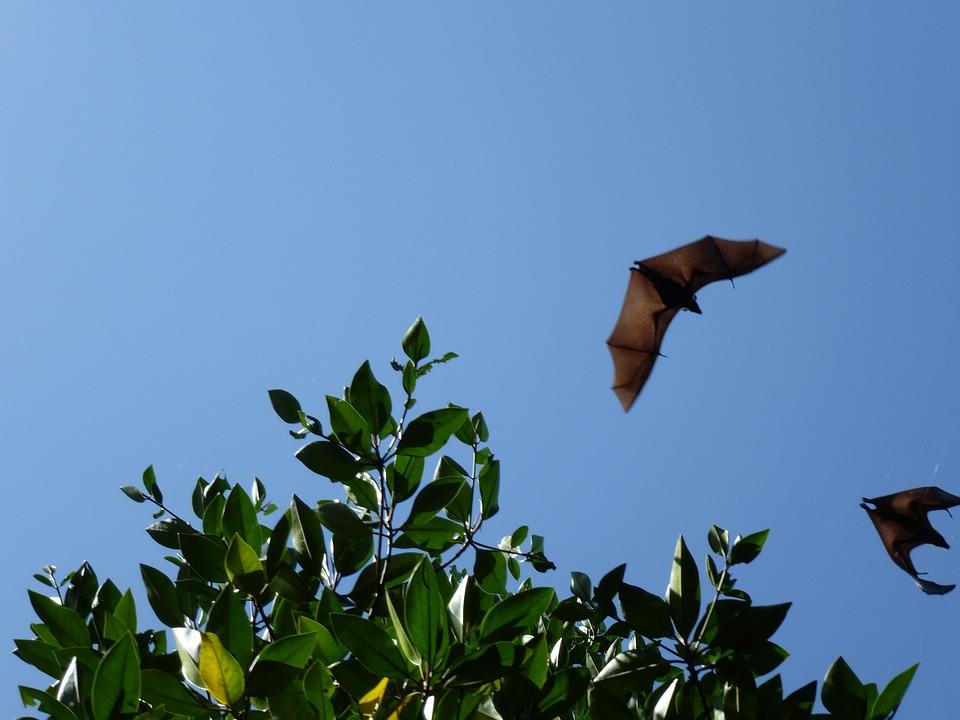 Flying Dog, Sri Lanka, Fly, Bats