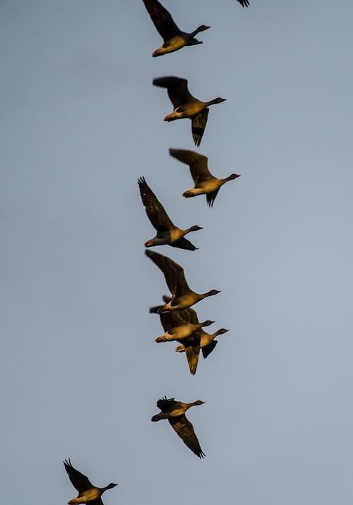 Geese, Migratory Birds, Flying