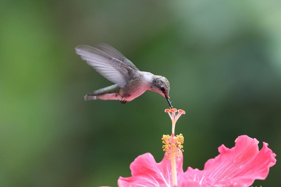 Hummingbird, Bird, Flower, Hibiscus, Flying, Hovering