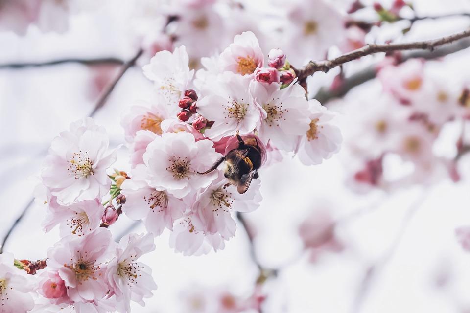 Cherry Blossoms, Petals, Hummel, Flight Insect, Flying
