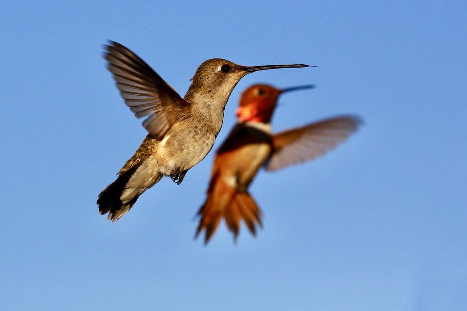 Hummingbird, Bird, Wings, Flying Hummingbird
