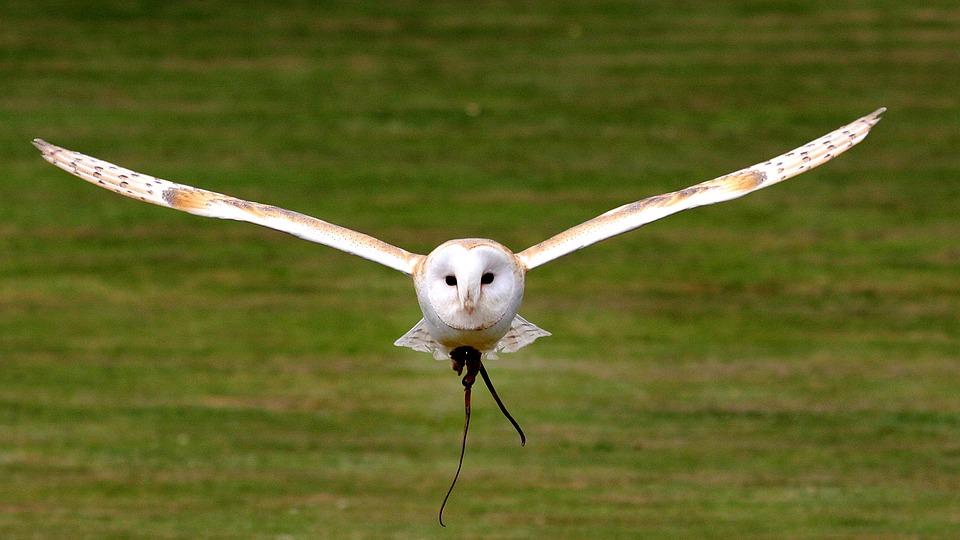 Barn Owl, Flying, Bird, Nature, Predator, Hunter
