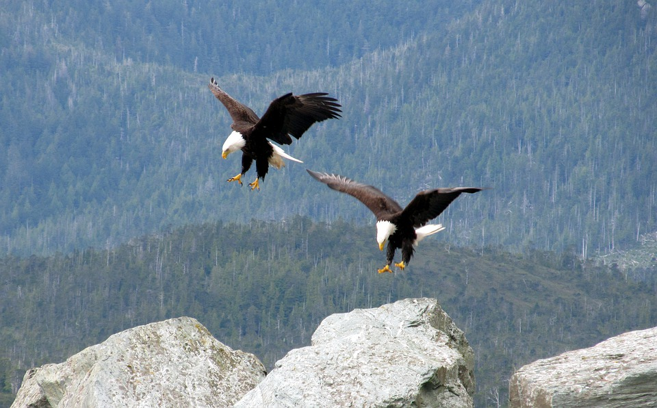 Free Photo Flying Landing Eagles Bald Birds White Flight Max Pixel