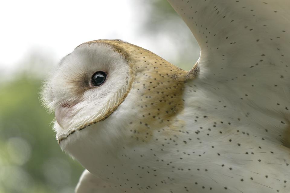 Owl, Determination, Flying, Bird, Preying