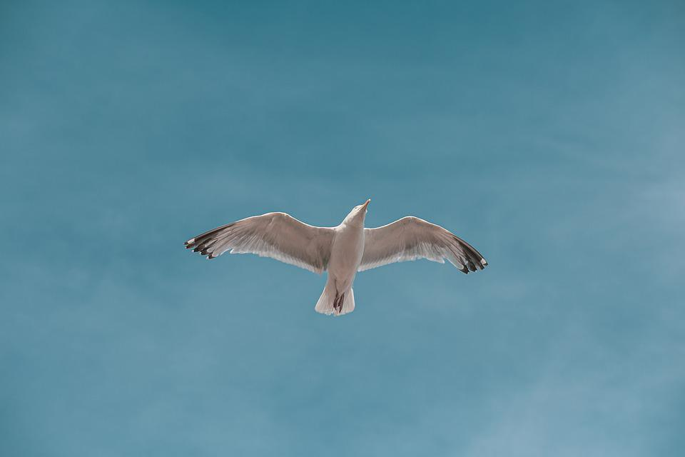 Seagull, Bird, Flying, Flight, Wings, Gull, Seabird