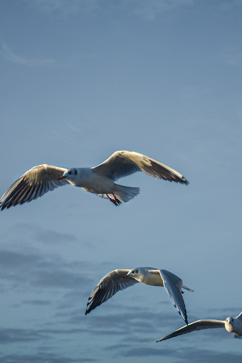 Seagulls, Birds, Flight, Flying Bids, Flying Seagulls