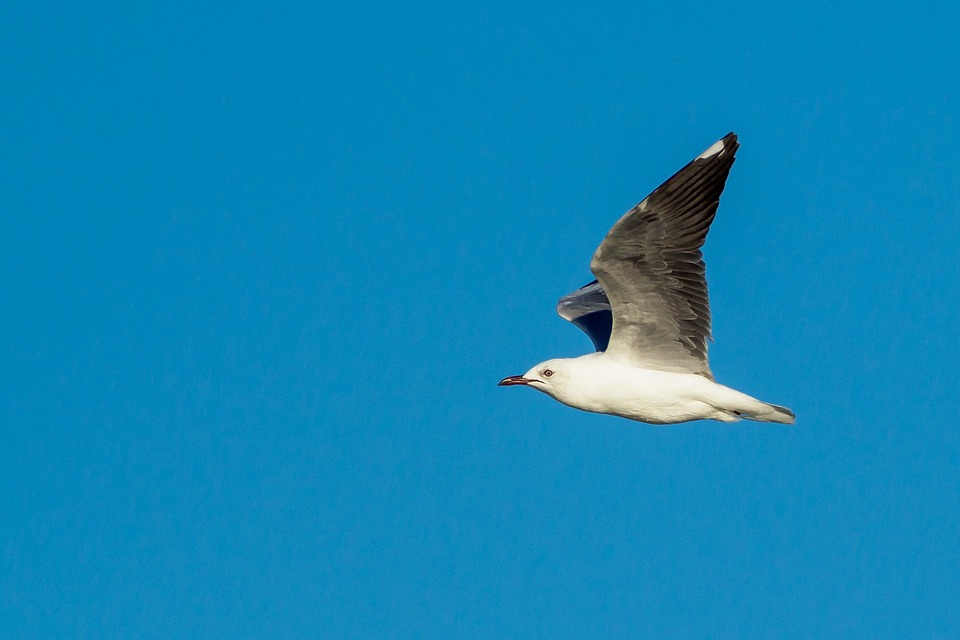 Hartlaub's Gull In Flight, Bird, Seagull, Sky, Flying