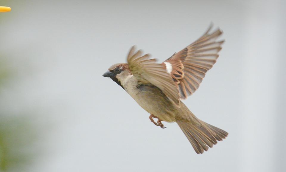 Sparrow, Bird, Outdoor, Flying, Wings