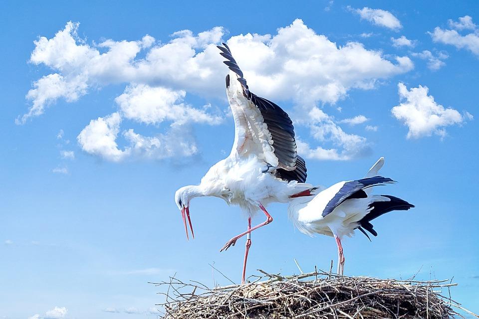 Stork, Bird, Animal, Flying, White Stork, Rattle Stork