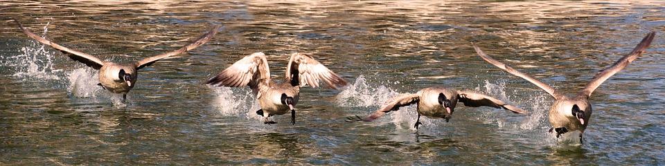 Animal World, Bird, Goose, Water Bird, Flying, Wing