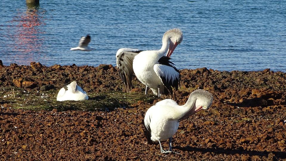 Pelican, Seagull, Flying, Birds, Beach, Ocean, Wings