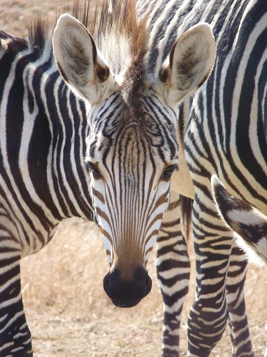 Zebra, Hartmann's, Foal, Zebra Baby, Portrait, Animal