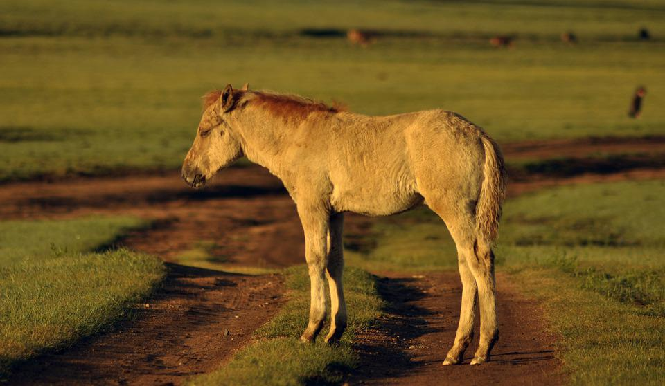 Foal, Horse, Mongolia, Animal, Equine, Cute, Young