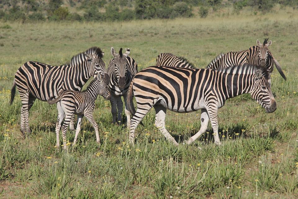 Zebra, Heard, Zeal, Dazzle, Young, Colt, Foal, Filly