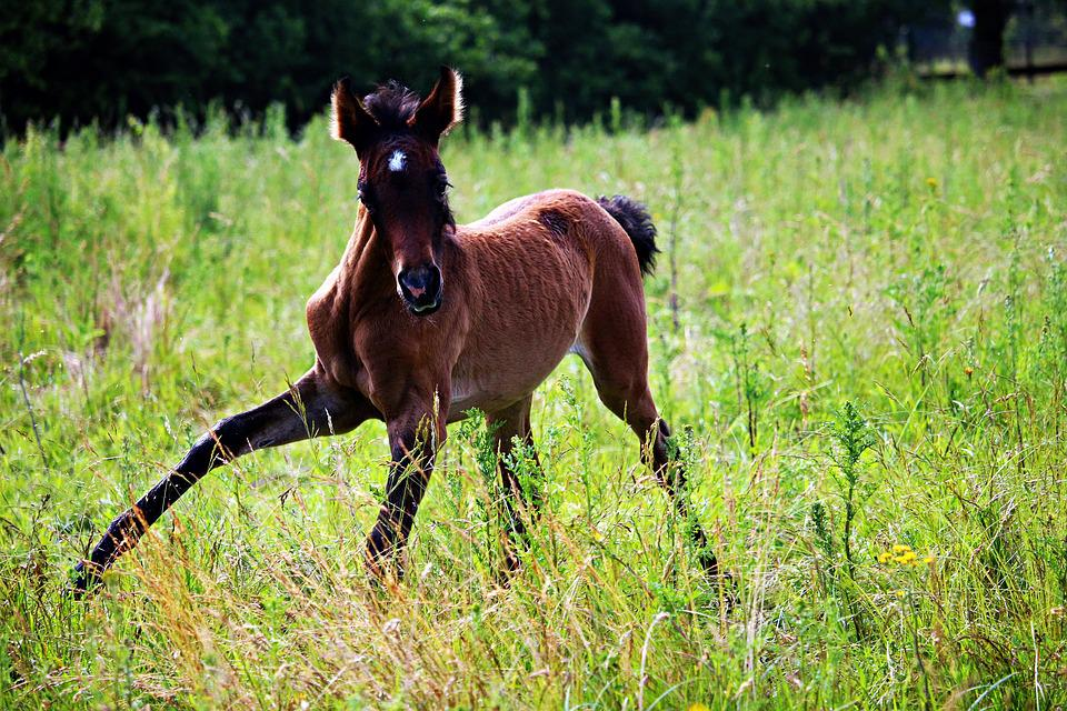 Horse, Foal, Thoroughbred Arabian, Brown Mold, Pasture