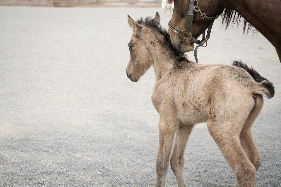 Foal, Horse, Pony, Small, Baby Animal, Mare, Dun