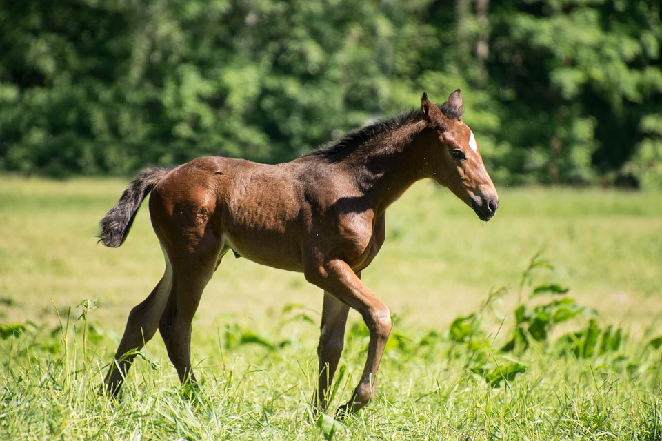 Foal, Horse, Animal, Mare, Stallion, Meadow, Brown