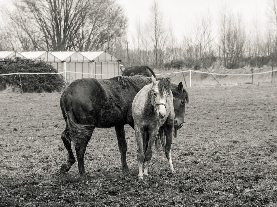 Foal, Horse, Pre, Black And White