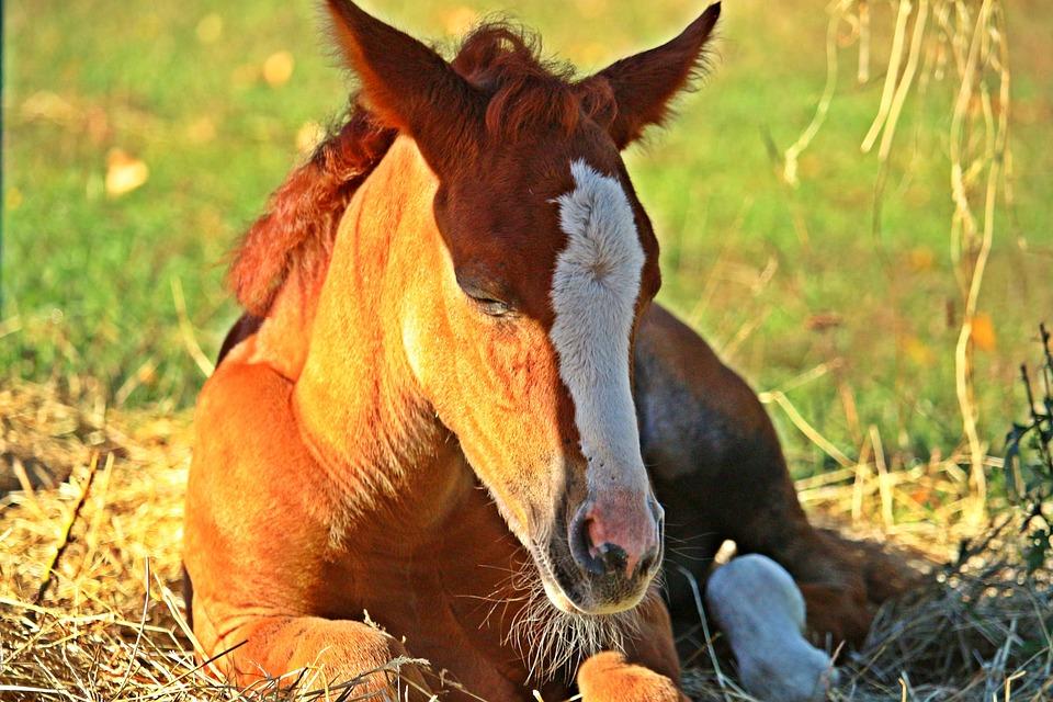 Horse, Foal, Fuchs, Blaze, Thoroughbred Arabian