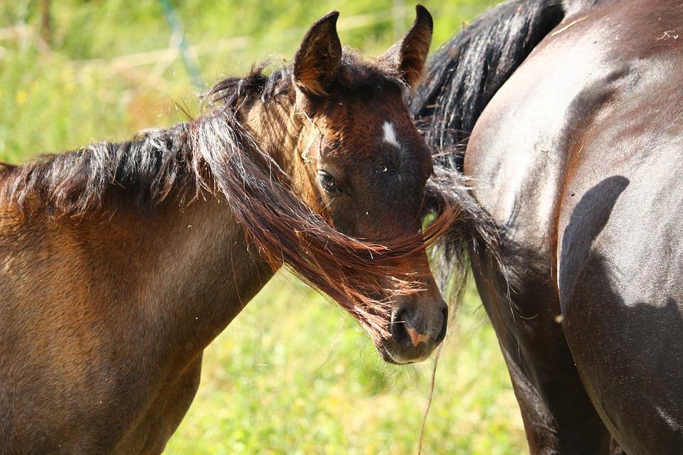 Horse, Foal, Thoroughbred Arabian, Brown Mold, Mane