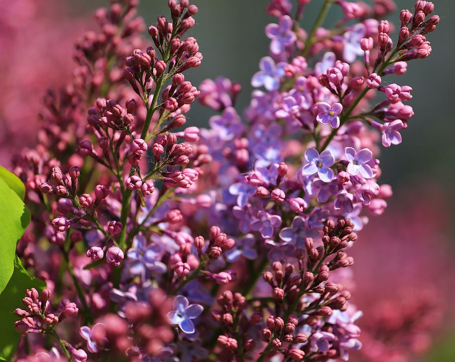 Lilac, Beauty, Blooms, Plant, Flora, Summer, Focus