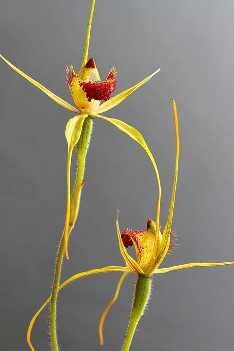 Caladenia Procera, Carbunup King Spider, Focus Stack