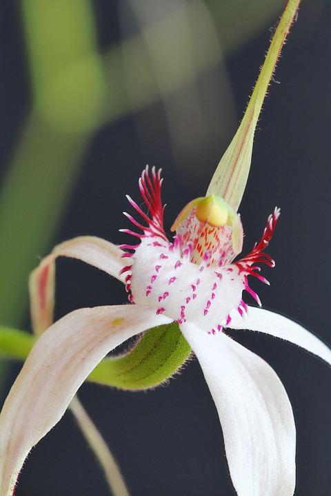 Kojonup, Christine's Spider Orchid, Focus Stack