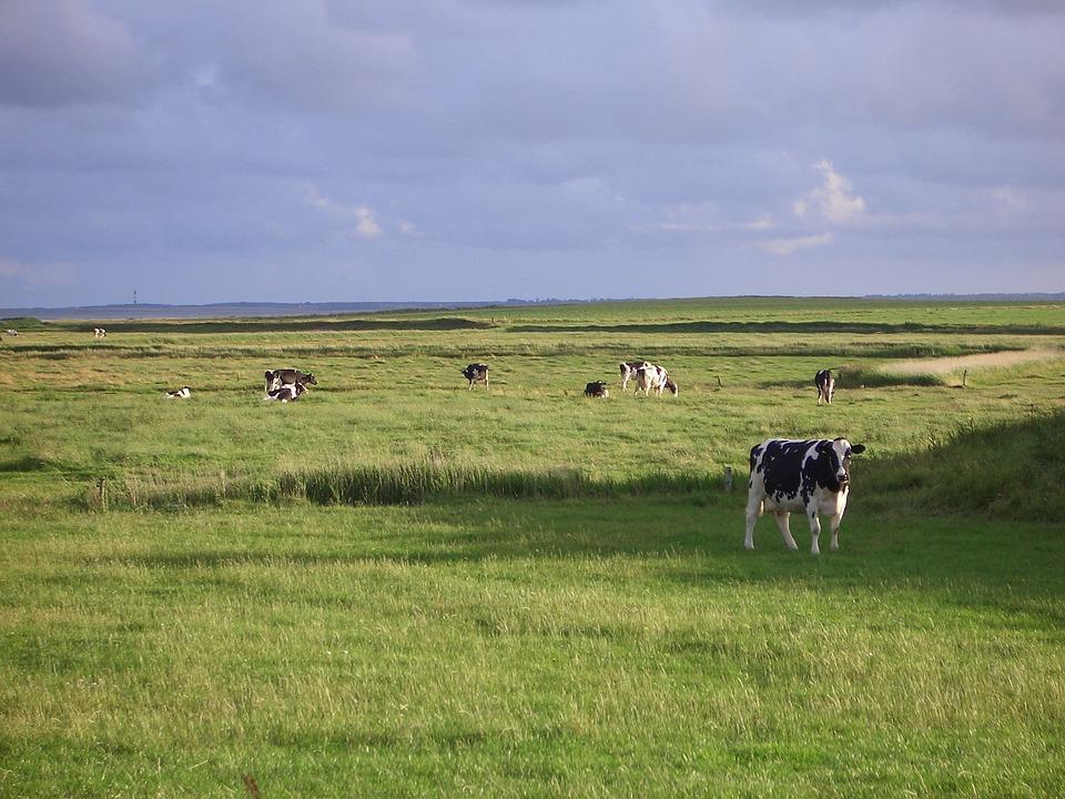 Föhr, Landscape, Cows