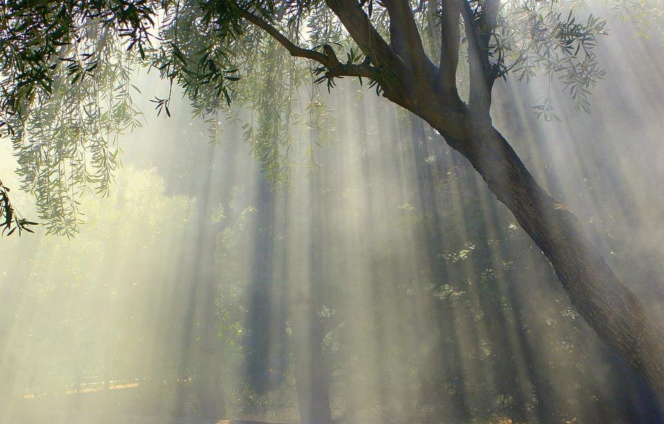 Foggy, Olive Tree, Nature, Landscape, Tree, Countryside