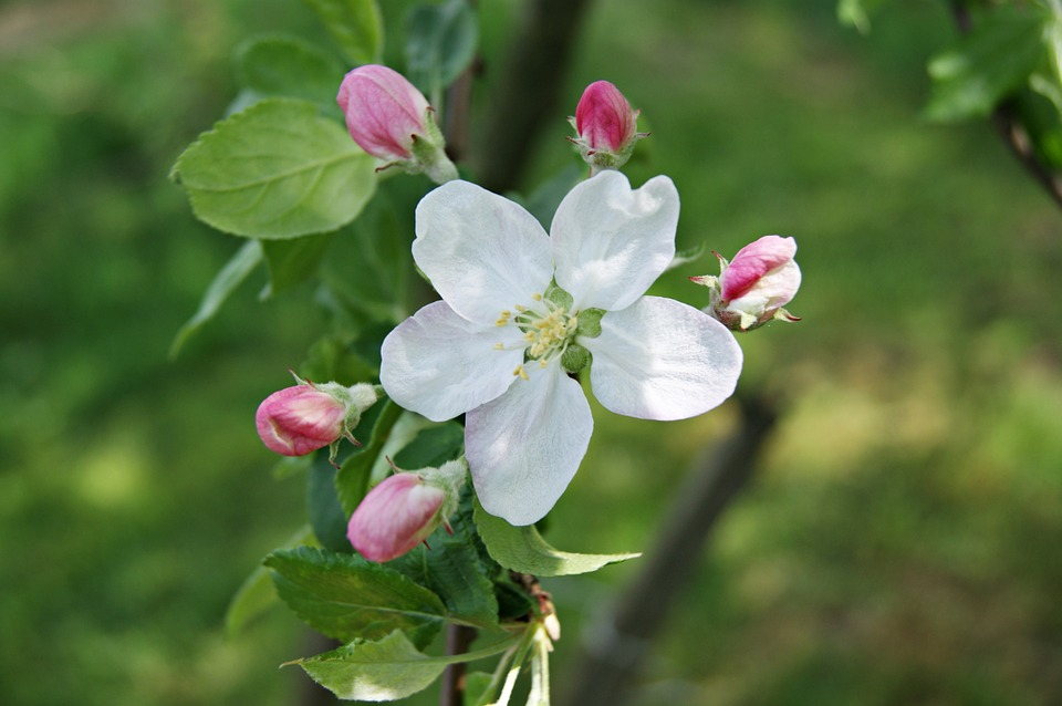 Apple, Nature, Foliage, The Beauty Of Nature, Spring