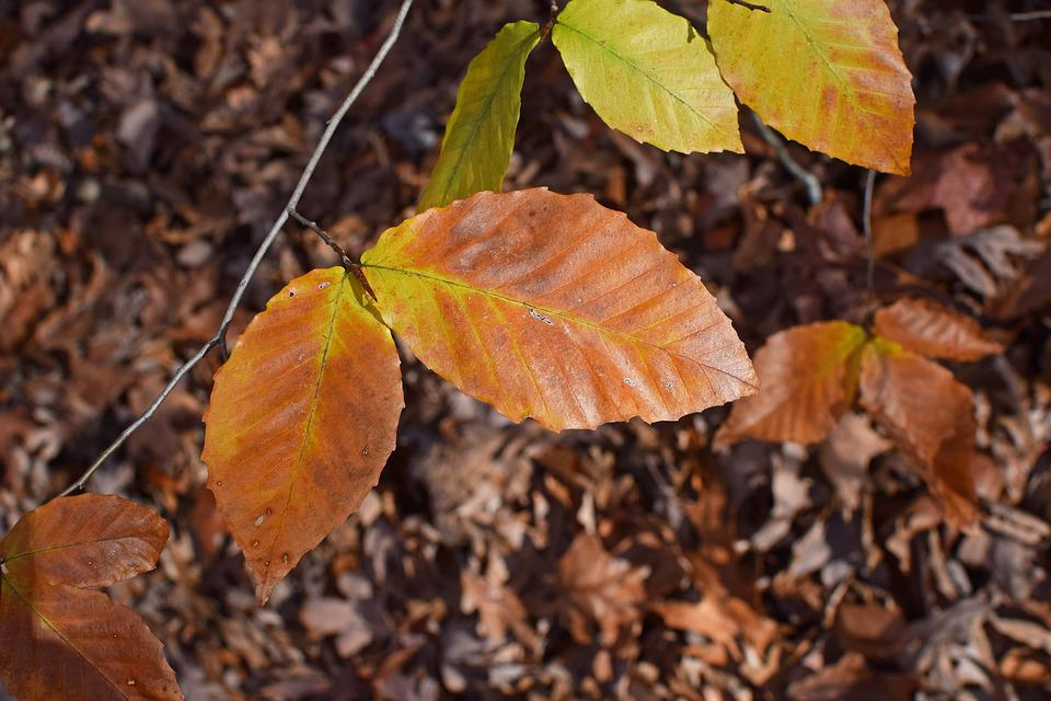 Beech Leaves, Beech, Tree, Leaves, Foliage, Autumn